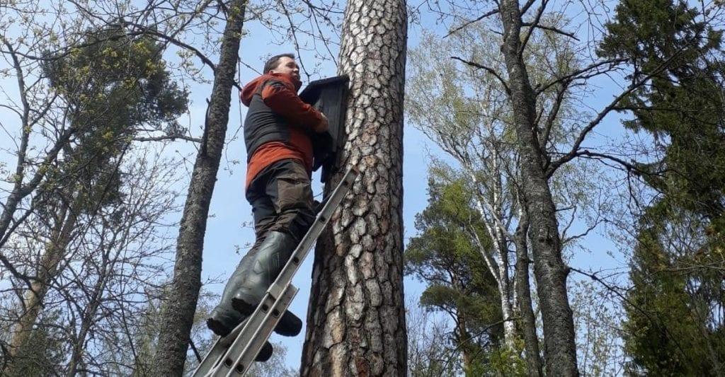 Mies puussa asentamassa lepakkopönttöä.